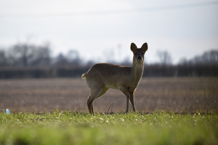 Chasse chinese water deer